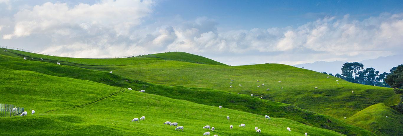 Landscape of green field and blue sky, view of New Zealand farm